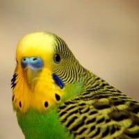 Budgerigar (Shell Parakeet)