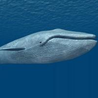 Blue Whale (Largest Aquatic Animal)