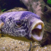 A pufferfish has 4 teeth that never stop growing